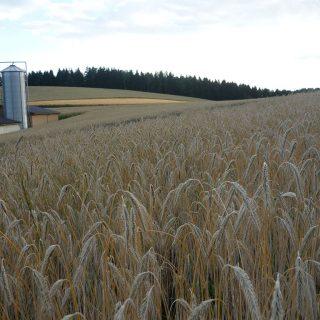Blick auf ein Getreidefeld