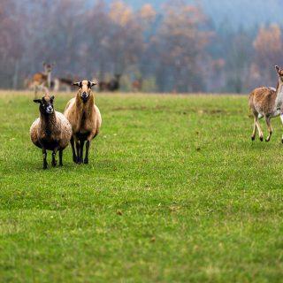 Schafe im Wildgehege