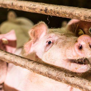 Schweine auf unserem Hof