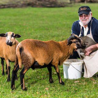 Siegfried mit Schafe