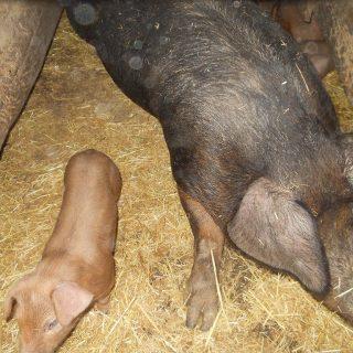 Duroc Mutterschwein mit Ferkel